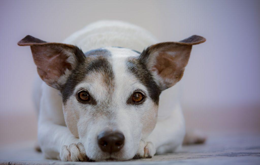 mejores collares antiparasitarios para perros