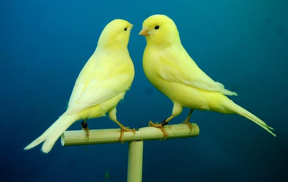 cuál es el mejor pienso para canarios