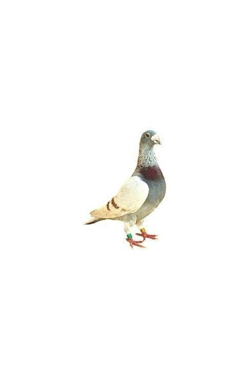 Productos para palomas